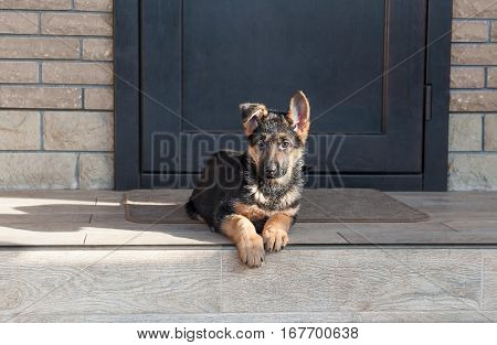 German shepherd puppy lay on the verge near the house.