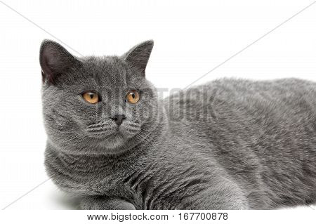 beautiful cat with yellow eyes close up on a white background. horizontal photo.