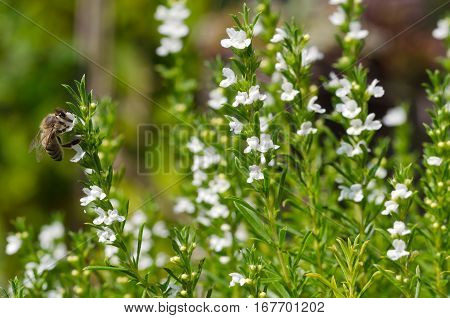Honeybee on flowering thyme. Honey bee extracting and collecting nectar from white thyme flowers. European or Western honey bee, Apis mellifera on evergreen herb Thymus vulgaris. Macro photo close up.