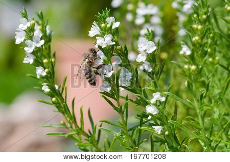 Honey bee extracting and collecting nectar from white thyme flowers. European or Western honey bee, Apis mellifera pollinating on evergreen herb Thymus vulgaris. Macro photo close up.