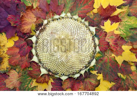 Empty sunflower head on the autumn leaves. No seeds inside. Top view.