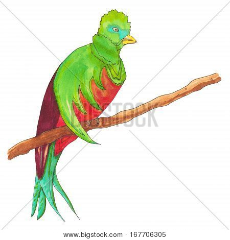Resplendent Quetzal. Quetzal Bird on a branch. Hand drawn illustration.