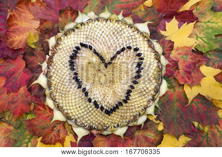 Sunflower head on the autumn leaves.  Heart shape made from the seeds.