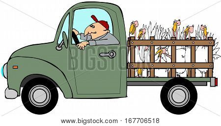 Illustration of a man driving a pickup truck hauling turkeys in the back.