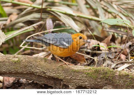 Orange-headed Thrush bird on the tree root