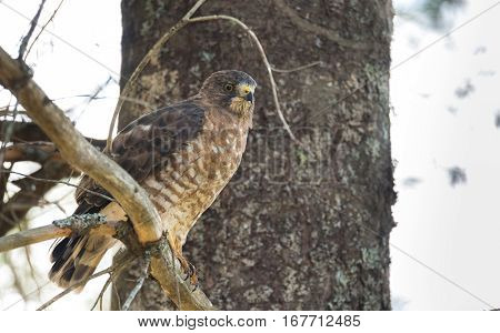 Beautiful young Red-Tail hawk on a tree branch, rests momentarily after having just consumed a fresh catch.