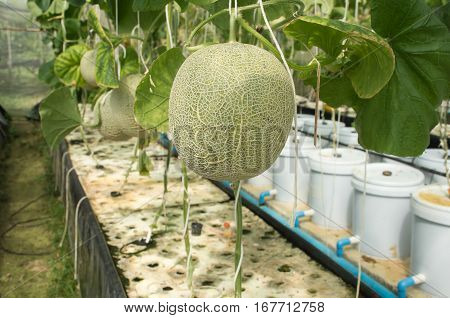 Soft focused picture of Organinc Japanese Musk Melon are growing in hydroponic farm