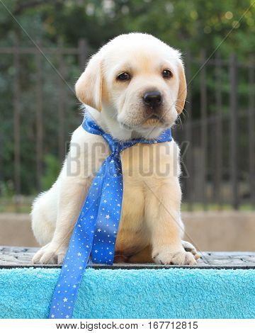 The Little Labrador Puppy On A Blue Background