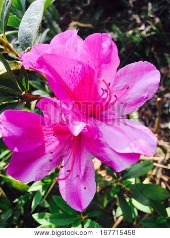 Pink Azalea at Doi Ang Khang, chaing mai