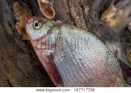 Several Common Bream Fish On Green Grass. Catching Freshwater Fish On Natural Background.