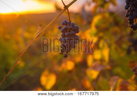 Gorgeous Sunset Over Beautiful Green Vines