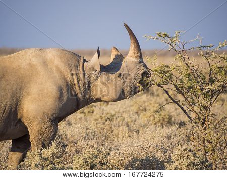 Portrait of large endangered black rhino feeding on small bush in savannah of Etosha National Park, Namibia, Africa