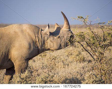 Portrait of large endangered black rhino feeding on small bush in savannah of Etosha National Park, Namibia, Africa