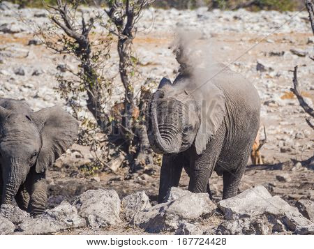 Very young African elephant spraying his body with dry dirt and dust, Etosha National Park, Namibia, Africa.