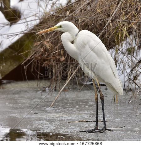 white egret standing on frozen part of river try to catch fish