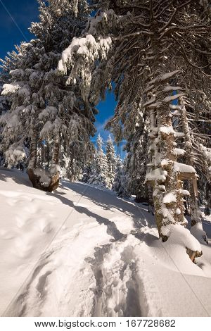Mountain Trail Leading Under The Snow-covered Pine Trees