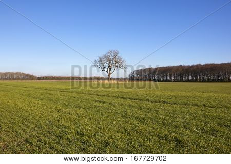 Wheat Crop And Lone Tree
