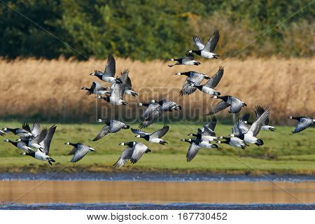 Barnacle geese (Branta leucopsis) in flight with vegetation in the background