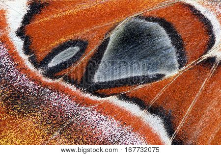 Close-up of a moth wing (Atlas moth)