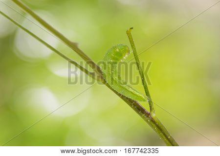 Mature Psyche Caterpillar