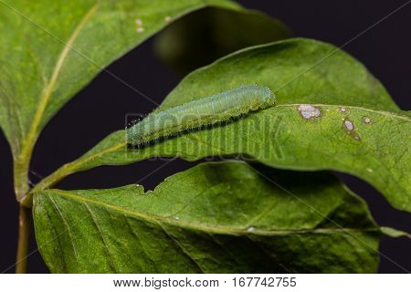 The Psyche Caterpillar
