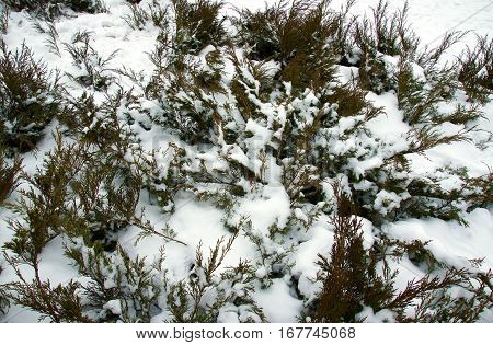 Evergreen Branches of juniper under snow in winter