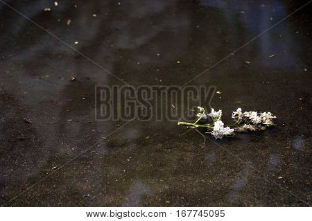 The inflorescence of horse chestnut in a puddle after a spring rain