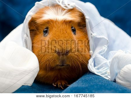 Funny guinea pig wearing a white scarf on its head selective focus on the guinea pig nose