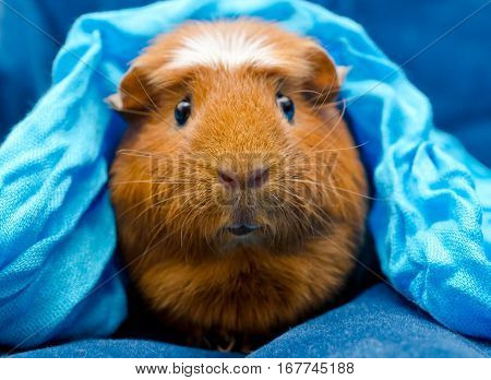 Funny guinea pig wearing a blue scarf on its head (on a blue background) selective focus on the guinea pig nose