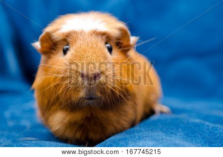 Funny guinea pig on a blue background