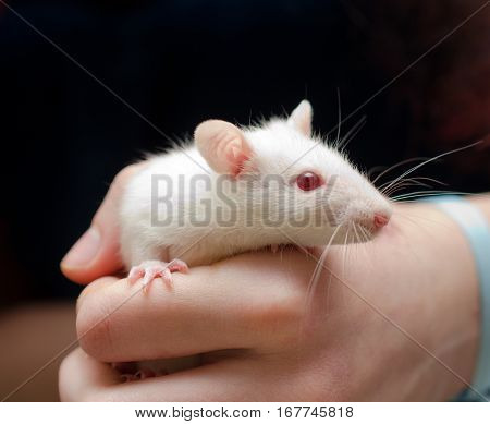 Cute little white rat in the researcherʹs hand
