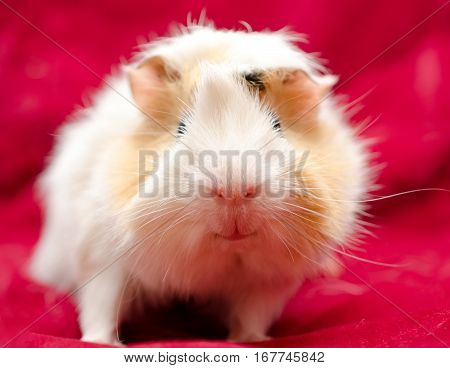 Cute funny guinea pig on a red background selective focus on the guinea pig nose