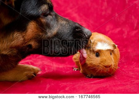 German shepherd dog licking a cute guinea pig (pet friendship or pet love concept)
