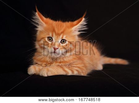 Cute Red Solid Maine Coon Kitten Sitting With Beautiful Brushes On The Big Long Ears On Black Backgr