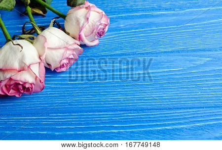 Three beautiful dry roses against a bright blue wooden background with copy space for your text