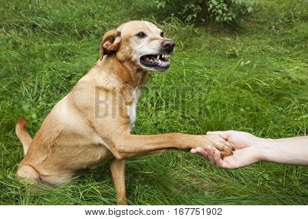 Unfriendly hand and paw shake. A brown dog in the grass.