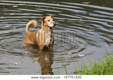 A brown dog in the wavy water.