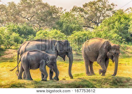 Sri Lanka: group of wild elephants in jungle of Yala National Park