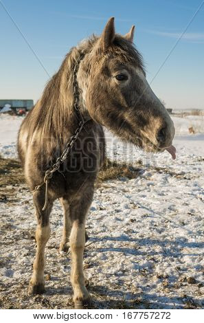 Laska is a two year old horse. Funny picture of its showing its tongue