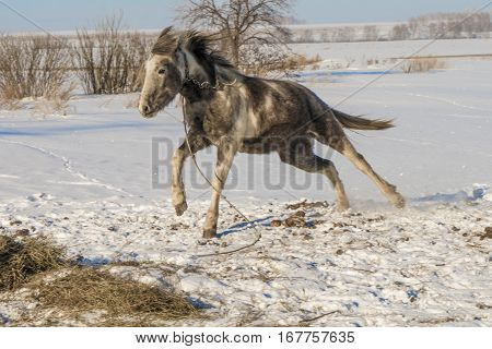 Laska is a two year old horse. It likes running around