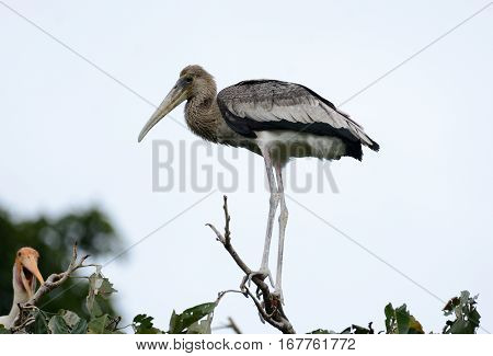 young Painted Stork (Mycteria leucocephala) in Thai forest