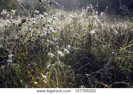 Meadow on a foggy autumn morning. Wild white flowers with drops of dew and a spiderweb.