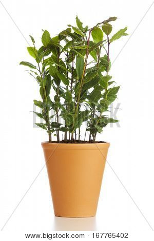 Food ingredient herb. Laurel bush in flower pot isolated on white background