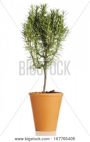 Food ingredient herb. Tree shaped rosemary plant in flower pot isolated on white background