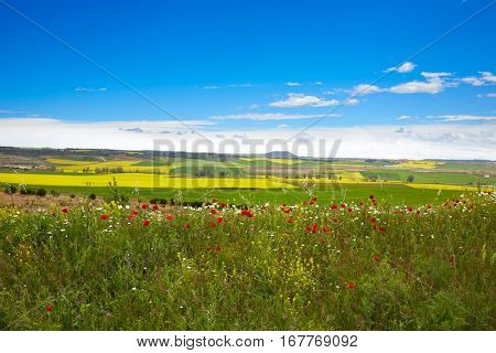 Cereal spring fields in Castilla by the way of Saint James at Via de la Plata of Spain
