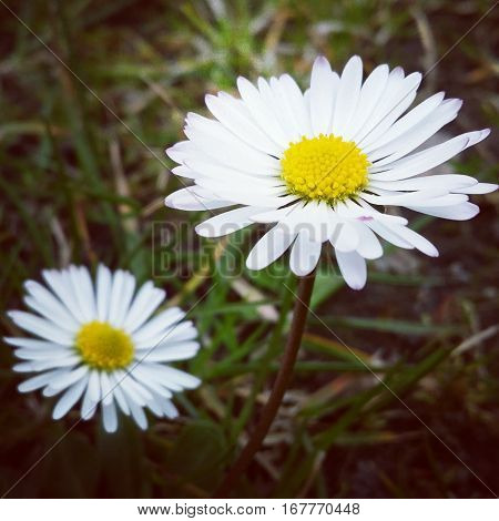 Two daisies in the grass. The daisy