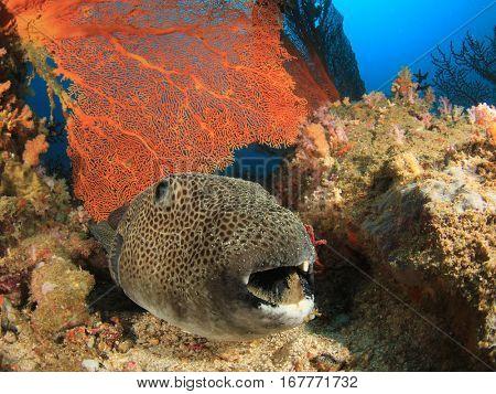 Giant Pufferfish. Puffer fish