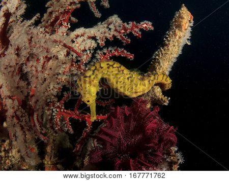 Yellow Seahorse. Tigertail Seahorse. Sea horse and coral
