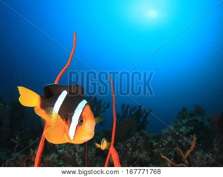Tropical fish. Clarke's Anemonefish. Clownfish on coral reef