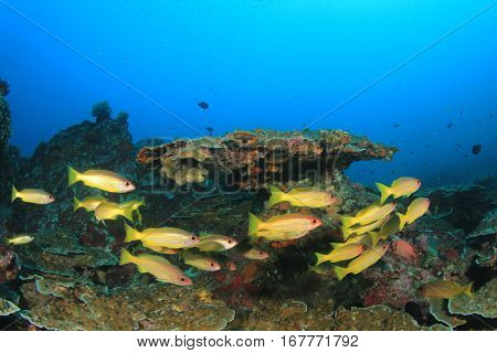 Tropical fish and coral. Snapper fish